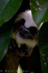photo of Monkey Animal Cotton Topped Tamarin Auckland Zoo