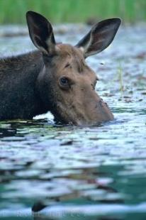 photo of Moose Meals Ontario Lake Canada