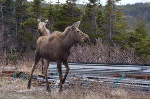 photo of Moose Photo Private Property Newfoundland
