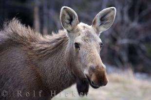 photo of Moose Viking Trail Northern Peninsula Newfoundland