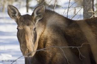 photo of moose animal