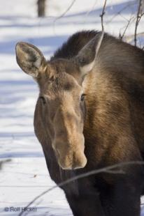 photo of moose portrait