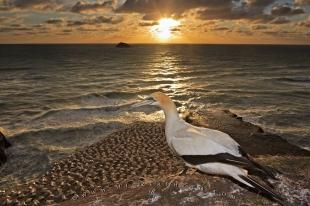 photo of Muriwai Gannet Colony Sunset