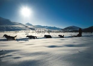photo of Winter Pictures Dog Mushing Alaska