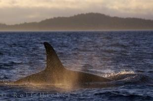 photo of Mystical Killer Whale Appearance Vancouver Island