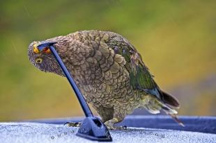 photo of Nestor Notabilis Kea Bird Darran Mountains Fiordland New Zealand