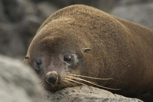 photo of New Zealand Fur Seal