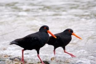 photo of New Zealand Oyster Catchers