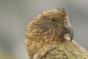 photo of Kea New Zealand Pictures Of Birds