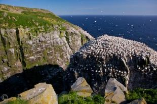 photo of Northern Gannet Colony Avalon Peninsula Newfoundland