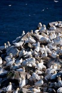 photo of Northern Gannets Newfoundland