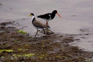 photo of Bird Species Of New Zealand Spur Winged Plover Pied Oystercatcher South Island