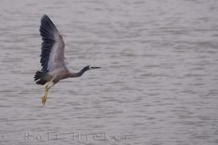 photo of White Faced Heron New Zealand