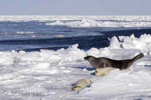 photo of Ocean Animals Harp Seals Icefloe