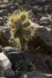 photo of Opuntia Bigelovii