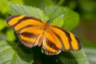 photo of Orange Tiger Butterfly Victoria