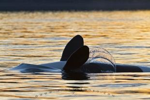photo of Sunset Whale Watching Orca Whale Backstrokes
