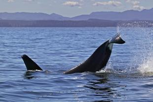 photo of Orca Whale Splashing Tail Vancouver Island