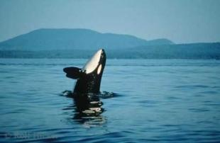 photo of Breaching Southern Resident Orca Whale