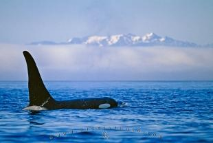photo of Killer Whale Scientific Name Orcinus orca