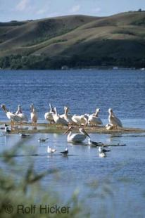 photo of pelicans
