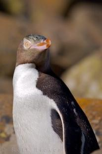 photo of Yellow Eyed Penguin Portrait
