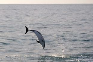 photo of Picture Of A Dusky Dolphin Kaikoura