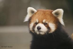 photo of Red Pandas