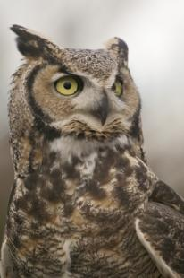 photo of great horned owl portrait