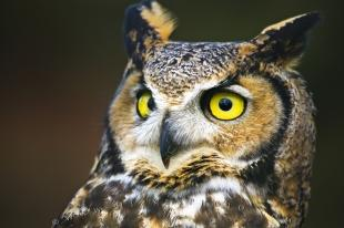photo of Great Horned Owl Close Bird Portrait