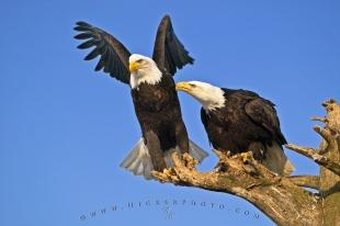 photo of Bird Behavior Pictures Of Bald Eagles