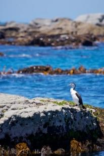photo of Pied Shag Kaikoura Peninsula