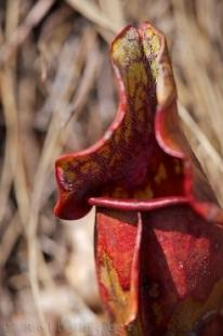photo of Pitcher Plant Tablelands Trail Gros Morne National Park Newfoundland