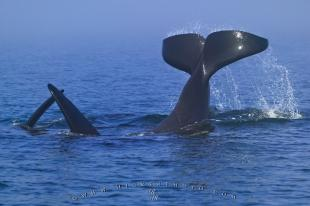 photo of Playing Orca Killer Whale Tail