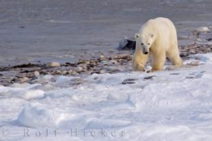 photo of Polar Bear Foraging Winter Coastline Hudson Bay