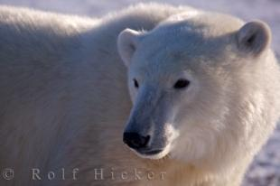 photo of Marine Mammal Polar Bear Information Churchill