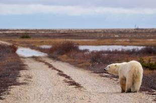 photo of Polar Bear Journey Churchill Manitoba