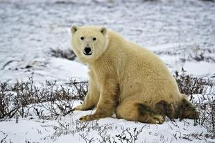 photo of Polar Bear Kneeling Hudson Bay Churchill Manitoba