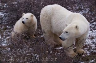 photo of Polar Bear Mother Cub Family Churchill Manitoba