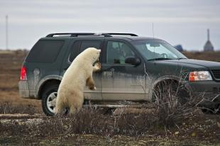 photo of Polar Bear Watching Tourists Churchill Canada