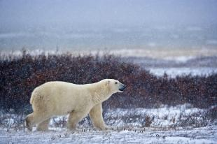 photo of Polar Bear Winter Churchill Manitoba