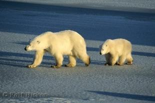 photo of Polar Bears Habitat