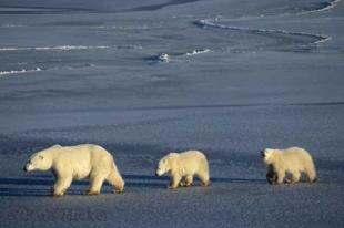 photo of Polar Bear Cubs
