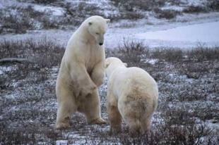 photo of Fighting Wrestling Polar Bear Pics