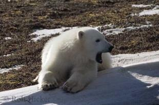 photo of polar bear pictures