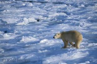 photo of polar bear