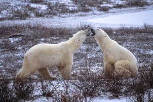 photo of Polar Bears Churchill