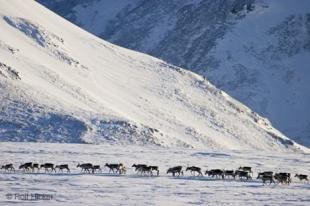 photo of porcupine caribous
