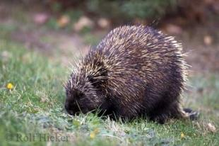 photo of Porcupine