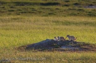 photo of Black Tailed Prairie Dogs Grasslands National Park Saskatchewan